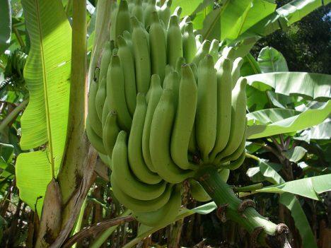Bananen, Foto (C) Jean & Nathalie / flickr