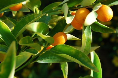 Kumquats, Foto (C) Howard Young / flickr
