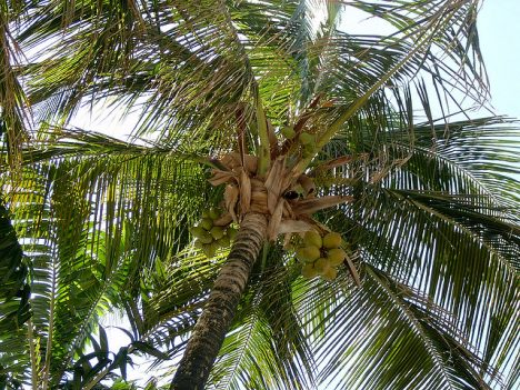 Kokospalme, Foto (C) alisonpavlos / flickr