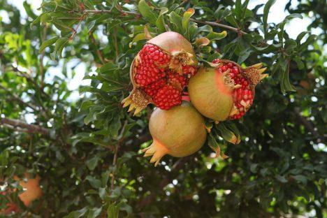 Granatapfelbaum Foto (C) Ze'ev Barkan / flickr