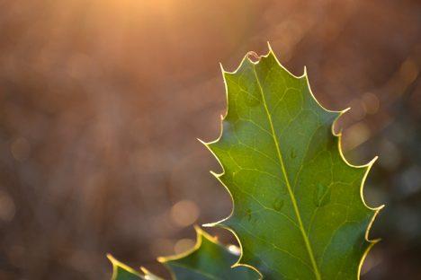Stechpalmen-Blatt, Foto (C) Philipp Antar / flickr