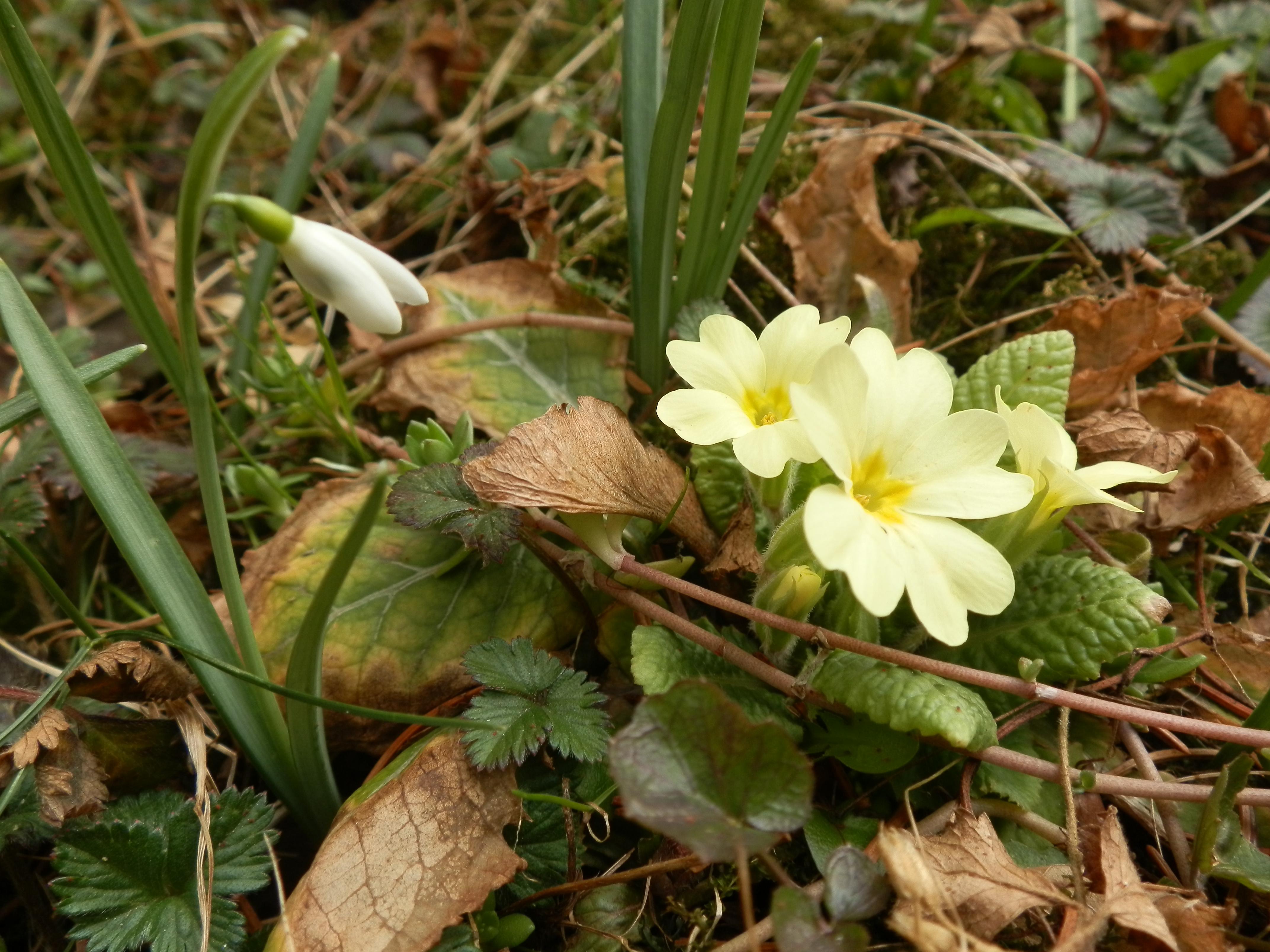 Frühlingsboten durchbrechen den Laub vom Vorjahr, Foto (C) Irmgard Brottrager