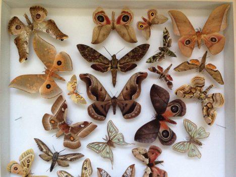 Schmetterlinge-Sammlung, Foto (C) Justin Sewell / flickr