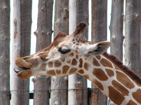 Die Giraffe ist das größte Landtier auf dem Planeten, Foto (C) Denise Womack-Avila / flickr