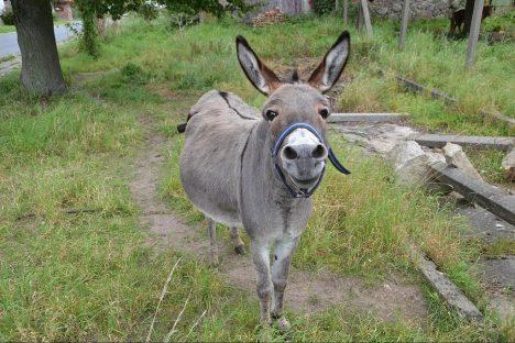 Leise, freundlich und 100% bio: Esel können bis 90 kg tragen. Foto (C) Thomas Kohler / flickr