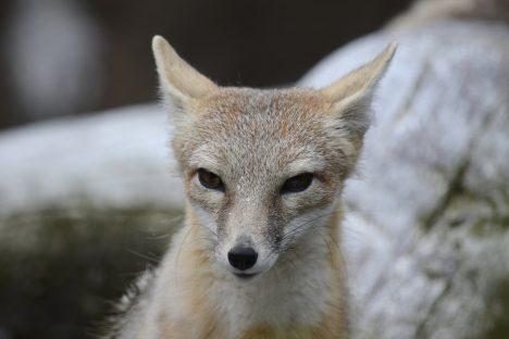 Junger Fuchs, Foto (C)Alias 0591 / flickr
