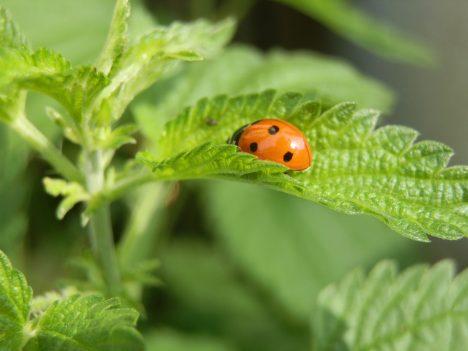 Marienkäfer sind wichtige Nützlinge, Foto (C) Irmgard Brottrager