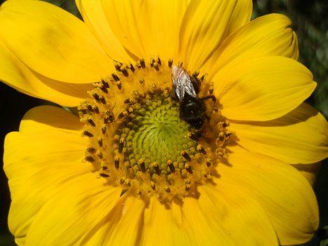 Wo Blumen sind, sind auch nützliche Insekten. Foto (C) Irmgard Brottrager
