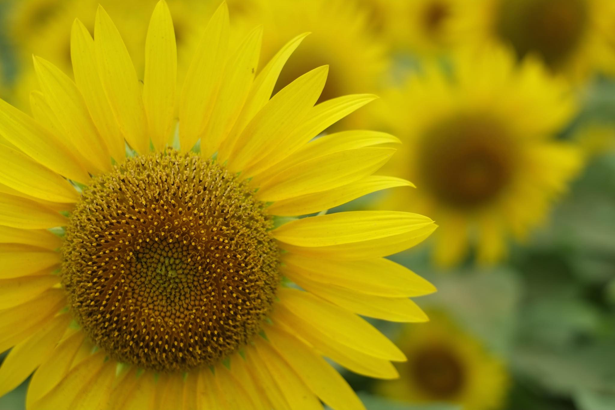 Gespeichertes Sonnenlicht in der Sonnenblume, Foto (C) Zengame / flickr