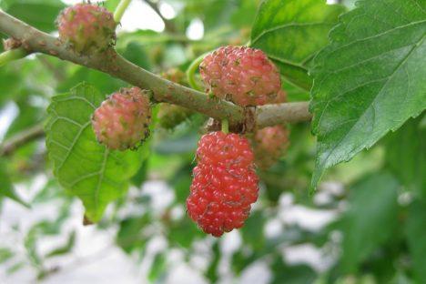 Maulbeeren am Baum, Foto (C)Jessie Hirsch / flickr