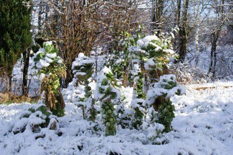 Dem Rosenkohl macht der Frost nichts aus. Foto (C) Anthony Patterson / flickr