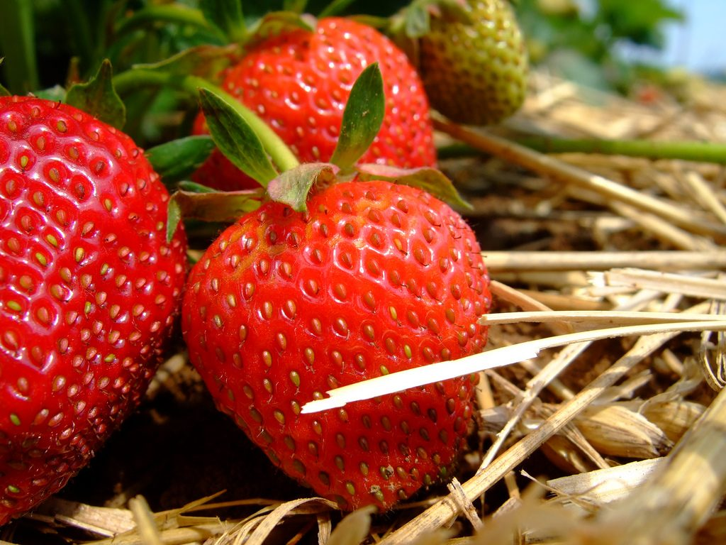 Erdbeeren werden am besten frisch vernascht. Foto (C) Martin Fisch / flickr CC BY 2.0