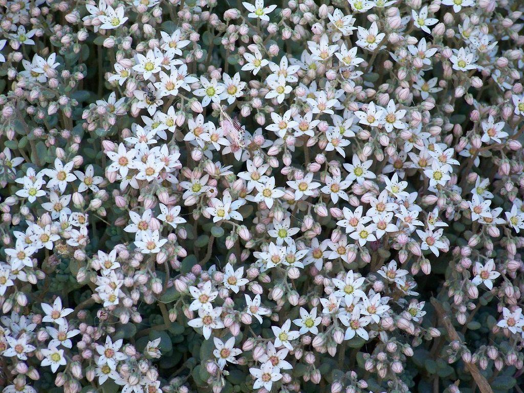 Sedum-Arten bilden oft wunderschöne Blüten-Teppiche. Foto (C) Patrick Standish / flickr CC BY 2.0