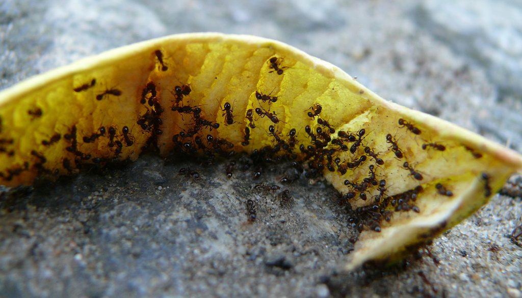 Es gibt sehr viele Ameisenarten. Hier sind schwarze Ameisen zu sehen. Foto (C) -stachelbeer / flickr CC BY 2.0