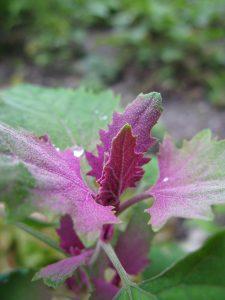 Die zweifärbigen Blätter vom Baumspinat sind auch optisch eine Zierde. Foto (C) Silke Baron / flickr CC BY 2.0