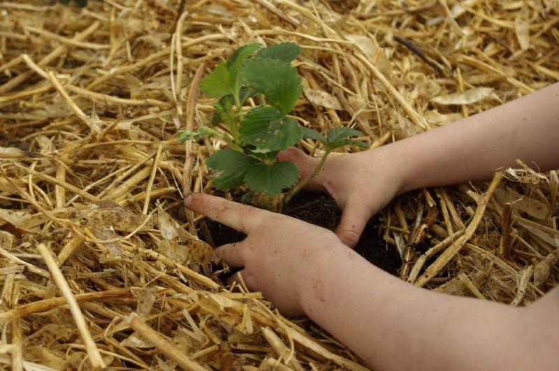 Mulchen mit Heu oder Stroh gehört zu den Permakultur-Standards. Foto (C) Samuel Mann / flickr CC BY 2.0