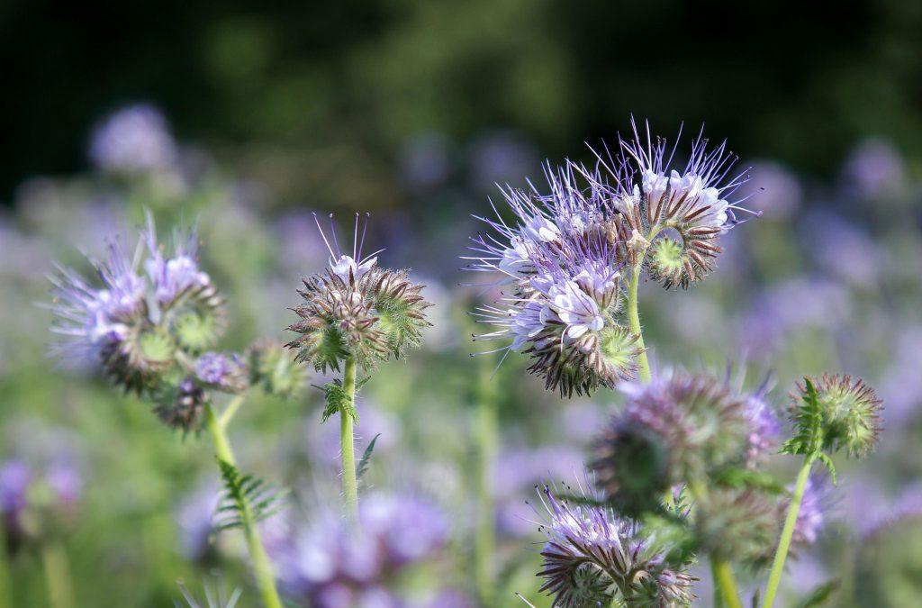 """Die Phacelia wird auch """"Bienenfreund"""" genannt. Foto (C) Maja Dumat / flickr CC BY 2.0"""