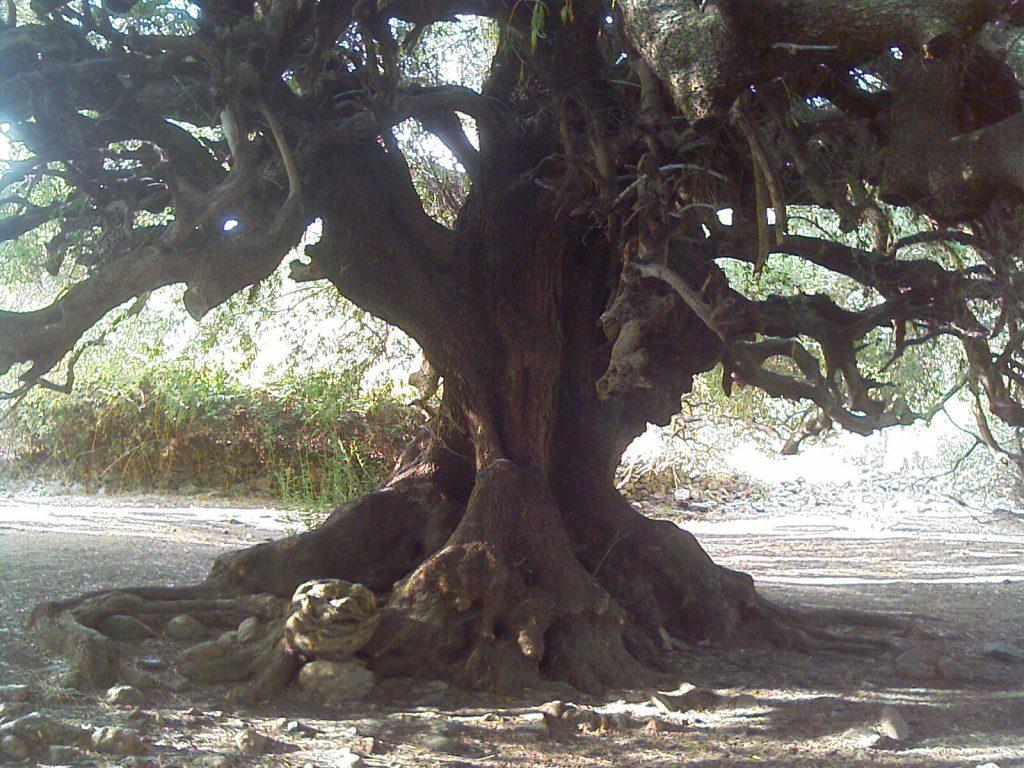 Dieser Olivenbaum ist mit 3800 Jahren der mutmaßlich älteste Baum in Europa. Er beweist eindrucksvoll, dass sich die Persönlichkeit oft erst im Alter entfaltet. Foto (C) Babele Dunnit / flickr CC BY 2.0