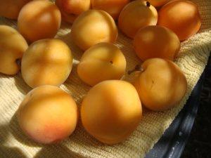 Aprikosen pur sind wunderbar für eine Monomahlzeit geeignet. Foto (C) Rhihan / flickr CC BY 2.0