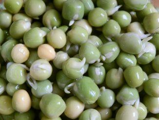 Für die Anzucht von Erbsen-Sprossen oder -Keimlinge werden keine grünen Erbsen verwendet, sondern ausgereifte Erbsensamen. Foto (C) Irmgard Brottrager
