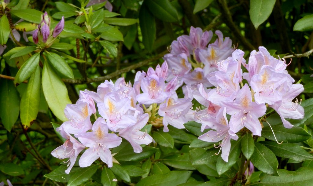 Blühender Oleander, Foto (C) Irmgard Brottrager