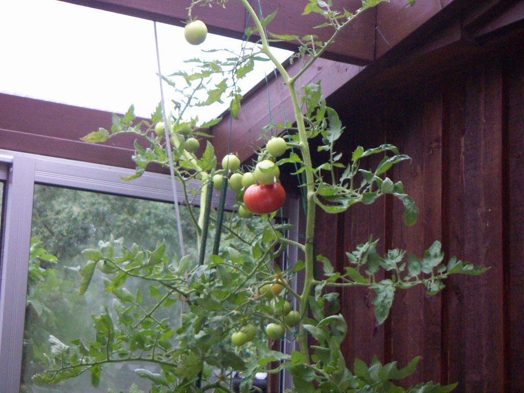 Wenn der Platzbedarf kein Problem ist, sind auch Kübel-Tomaten eine Option. Foto (C) Carl Johan Crafoord / flickr CC BY 2.0