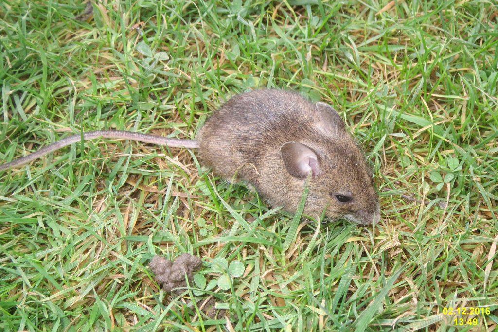 Mäuschen: Eigentlich sind sie ja süß. Foto (C) David Short / Flickr CC BY 2.0
