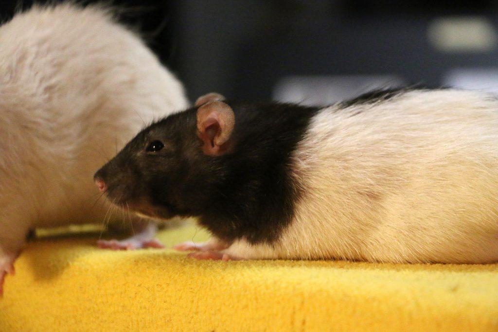 Und so sieht eine Ratte aus! Foto (C) Richard Combes / flickr CC BY 2.0