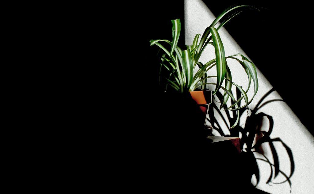 Chlorophytum Comosum, bekannt unter dem Namen Grünlilie