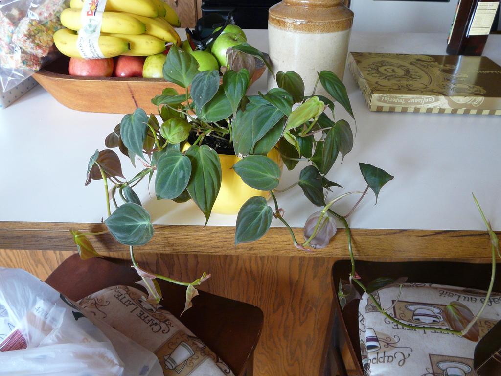 "Philodendron, auch ""Baumfreund"" genannt"