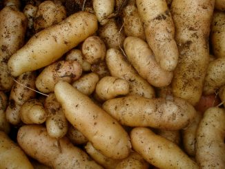 Junge Kartoffeln mit zarter Schale, Foto (C) Christian Guthier/ flickr CC BY 2.0