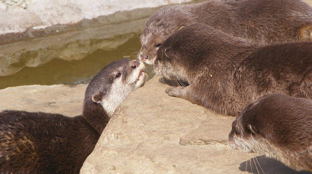 Noch nie einen Otter gesehen? So sehen wir aus! Foto (C) monkeywing / flickr CC BY 2.0