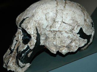 Angeblicher Schädel eines Homo Rudolfensis, Foto (C) James St. John / flickr CC BY 2.0