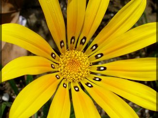 Blume mit 13 Blütenblättern, Foto (C) Anissa Wood / flickr CC BY 2.0