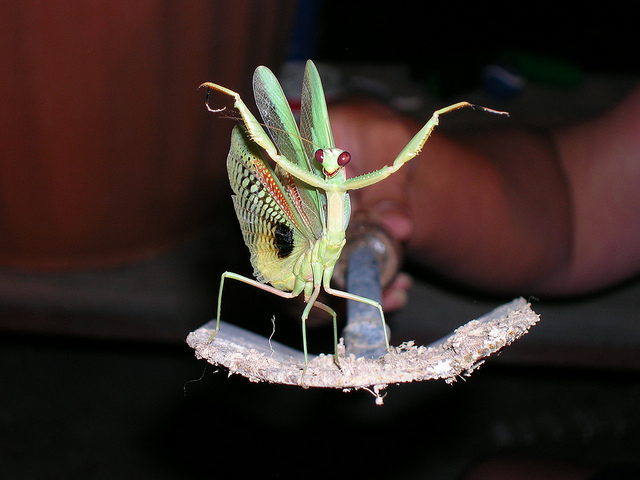 Mantis, Foto (C) Mike / flickr CC BY 2.0
