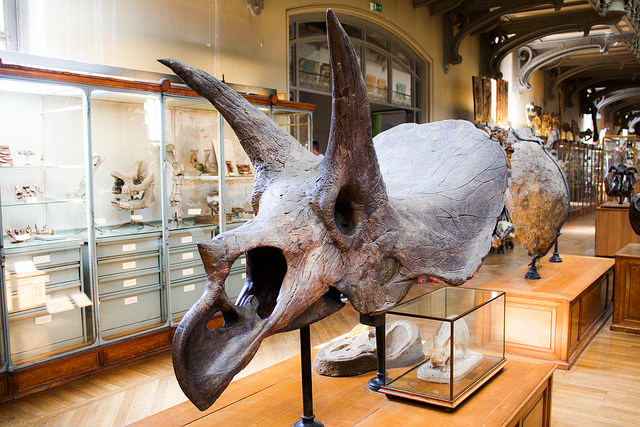 Skelett von einem Triceratops. Die Tiere wurden bis 9 Meter lang. Foto (C) Shadowgate / flickr CC BY 2.0