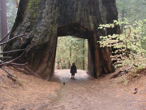 Mammutbaum mit Hohlraum, Foto: guille4545guille / flickr CC BY 2.0