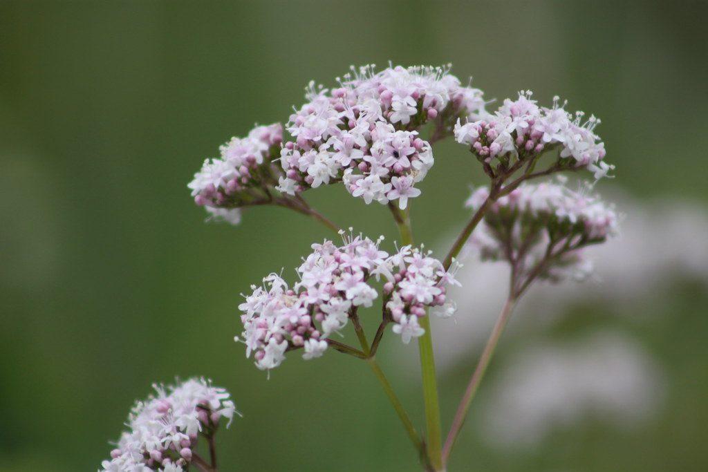 Valeriana Officinalis oder Echter Baldrian