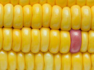 Genetische Veränderungen beispielsweise beim Mais sind möglich. Foto: Rawpixel Ltd / flickr CC BY 2.0