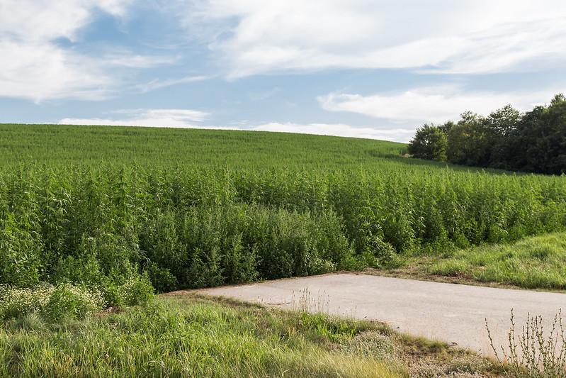 So sieht ein Feld mit Nutzhanf aus. Foto: Maja Dumat / flickr CC BY 2.0