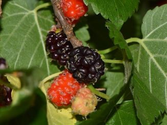 Schwarze Maulbeeren am Baum, Foto: Jean and Fred / flickr CC BY 2.0