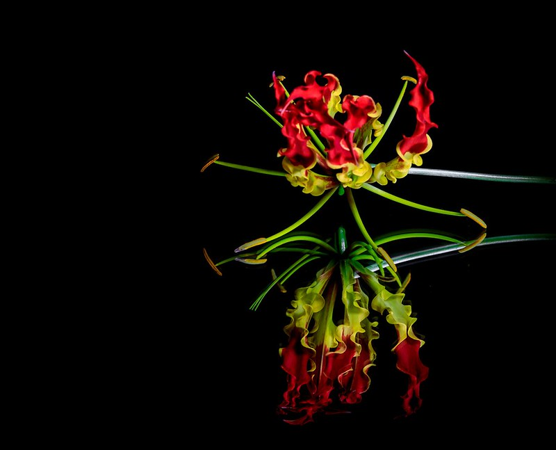 Die vielleicht giftigste von allen hört auf den Namen Gloriosa, Foto: Pete G / flickr CC BY 2.0