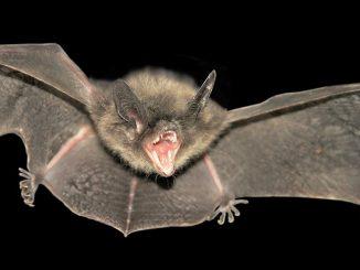Kommt der Lärm von einer Fledermaus? Foto: Phuket@photographer.net / flickr CC BY 2.0