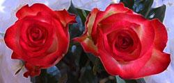 Rote Rosen für die Dekoration